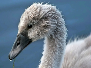 Cygnet close-up