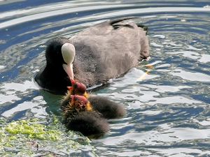 Coot feeding chicks