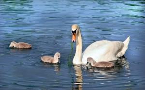 Swan & cygnets