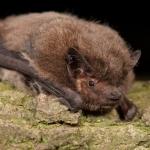 nathusius-pipistrelle-760x422